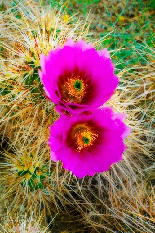 Englemann Hedgehog cactus (Echinocereus engelmannii) in bloom, Anza-Borrego Desert State Park, California USA
