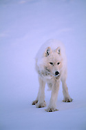 Arctic Wolf, Canis lupus, Ellesmere Island, Nunavut, Canada
