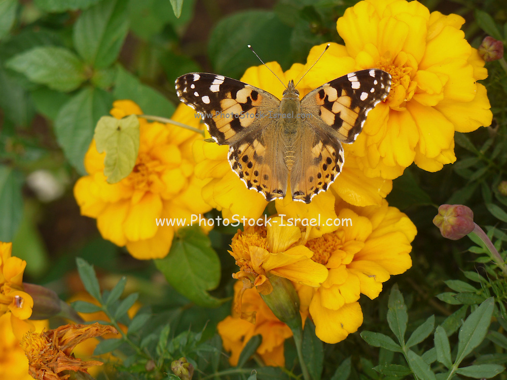 Turkey, Trabzon Province, Yellow wildflower and butterfly