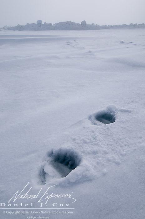 Polar Bear (Ursus maritimus) tracks on the ice of the Beaufort Sea, Alaska