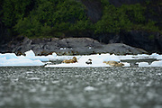 Harbor seals on ice with pup