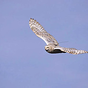 Snowy Owl (Nyctea scandiaca) Female in flight with transmitter on back. Barrow, Alaska.