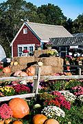 Flowers and pumpkins at a farm, Barnstable, cape Cod, MA