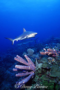 Caribbean reef sharks, Carcharhinus perezi, swim over purple tube sponges on New Providence wall, Tongue of the Ocean, near Nassau, Bahamas ( Western Atlantic Ocean )