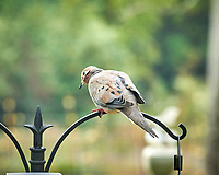 Mourning Dove. Image taken with a Nikon D850 camera and 200 mm f/2 VR lens.