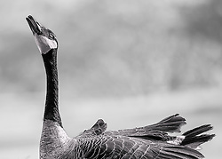 A goose stretches it's neck towards the sun in black and white