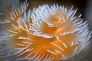 Polychaeta (Feather-duster tubeworms)