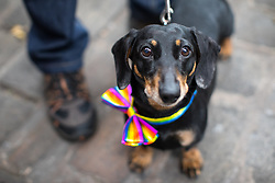 © Licensed to London News Pictures . 25/08/2017. Manchester , UK. A dog wearing a rainbow bowtie at the opening night of Manchester Pride's Big Weekend . The annual festival , which is the largest of its type in Europe , celebrates LGBT life . Photo credit: Joel Goodman/LNP