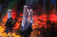Cypress knees protrude from the stream bed amid the tannin-colored water of Fisheating Creek in Florida's Fisheating Creek Wildlife Management Area (WMA). WATERMARKS WILL NOT APPEAR ON PRINTS OR LICENSED IMAGES.