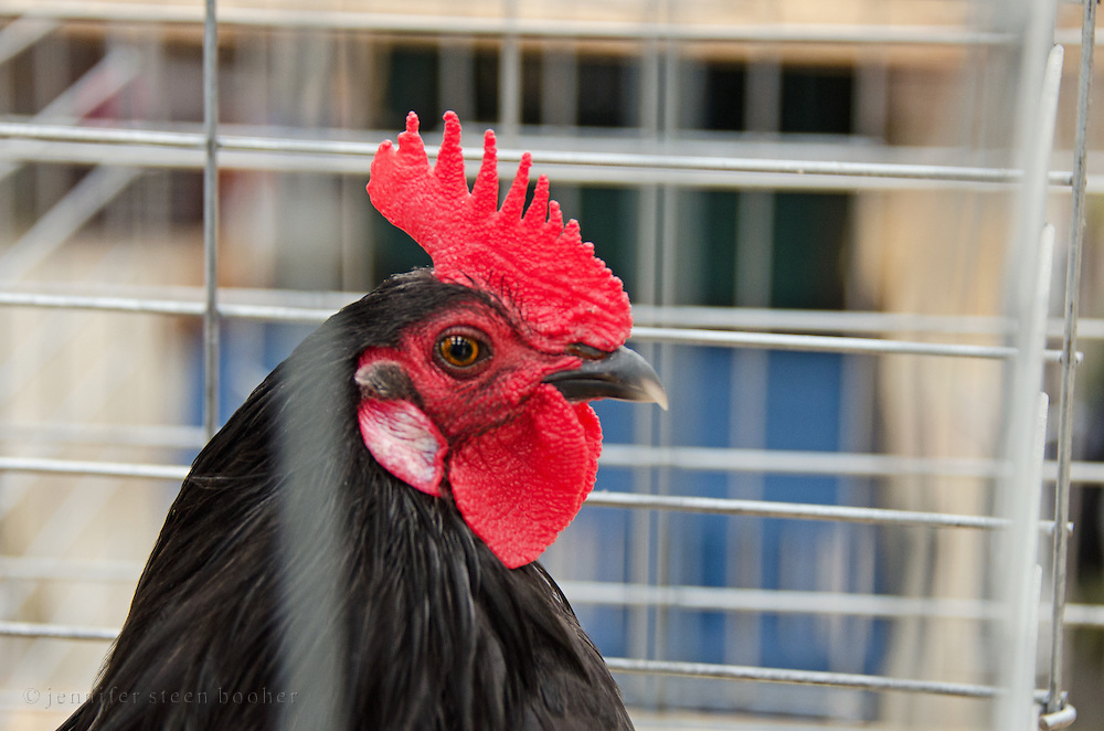 A Single Comb Barnyard Rooster stares through the bars of his cage at the Common Ground Fair, Unity, Maine.
