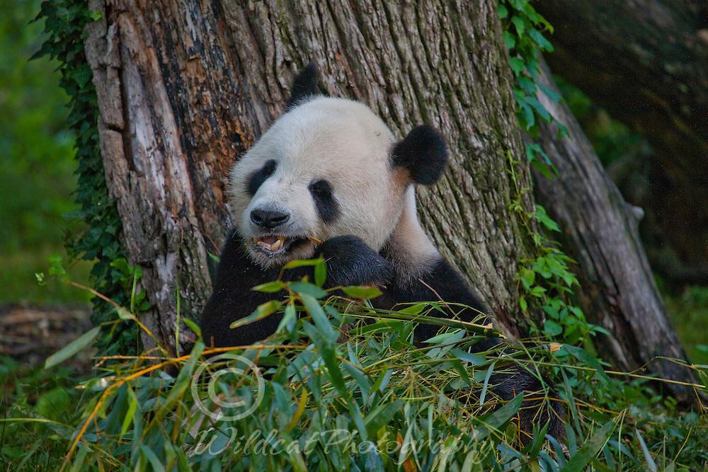 Panda Dad