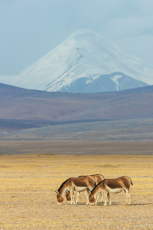 Three wild Kiang, Equus kiang, grazing on the Tibetan Plateau, Yushu, Haixi, Qinghai, China