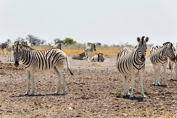 Zebras on sand at Etosha National Park, Namibia, Africa