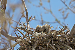 Great Horned Owl Nest and owlet chic peaking over the top