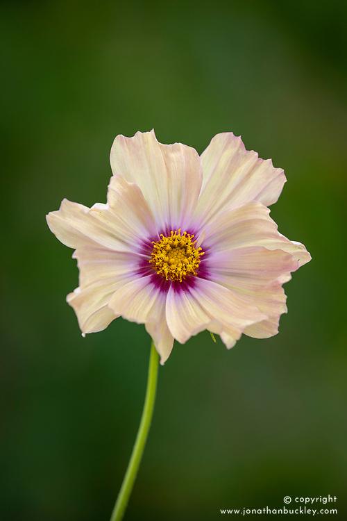 Cosmos bipinnatus 'Apricotta'