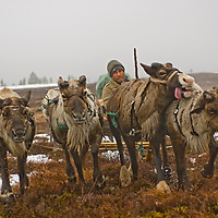 As rapidly-approaching spring melts snow in the Russian arctic, Alexei Semyashkin, a nomadic Komi reindeer herder, charges with his team through an interface of tundra and taiga forests.