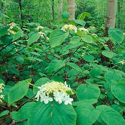 Old Bridle Path, NH.Hobblebush, Viburnum alnifolium. White Mountains N.F..