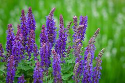 Salvia nemorosa Sensation Deep Blue syn. 'Florsaldblue' Sensation Series