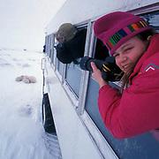 Polar Bear(Ursus maritimus) Sylvia Novotny photographs bears from Tundra Buggy. Churchill, Manitoba. Canada.