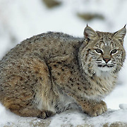 Bobcat (Lynx rufus) portrait in the Rocky Mountains.  Captive Animals.