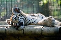 Baby Tiger at the Calgary Zoo