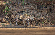 Stock - Jaguars and other wildlife of the Pantanal, Brazil