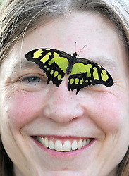 © London News Pictures. 2011/01/18 .Lara Smith (35) smiles at the camera as a Malachite Butterfly lands on her head. The 'Butterflies in the Glasshouse' exhibit opens at RHS Wisley, Woking, Surrey today (Tues). 100's of tropical butterflies have been released amongst the tropical plants and flowers.   . Picture credit should read Stephen Simpson/LNP