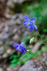 Alpenakelei, Aquilegia alpina