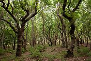 snaggy trees in the nature reserve de Manteling near Domburg on the peninsula Walcheren, Zeeland, Netherlands.<br /> <br /> knorrige Baeume im Naturschutzgebiet de Manteling bei Domburg auf Walcheren, Zeeland, Niederlande.