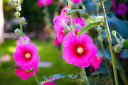 Common Hollyhock (Alcea rosea) Photographed in April