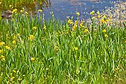 Yellow flag iris among wildflowers by Lough Inagh, Connemara, County Galway, Ireland