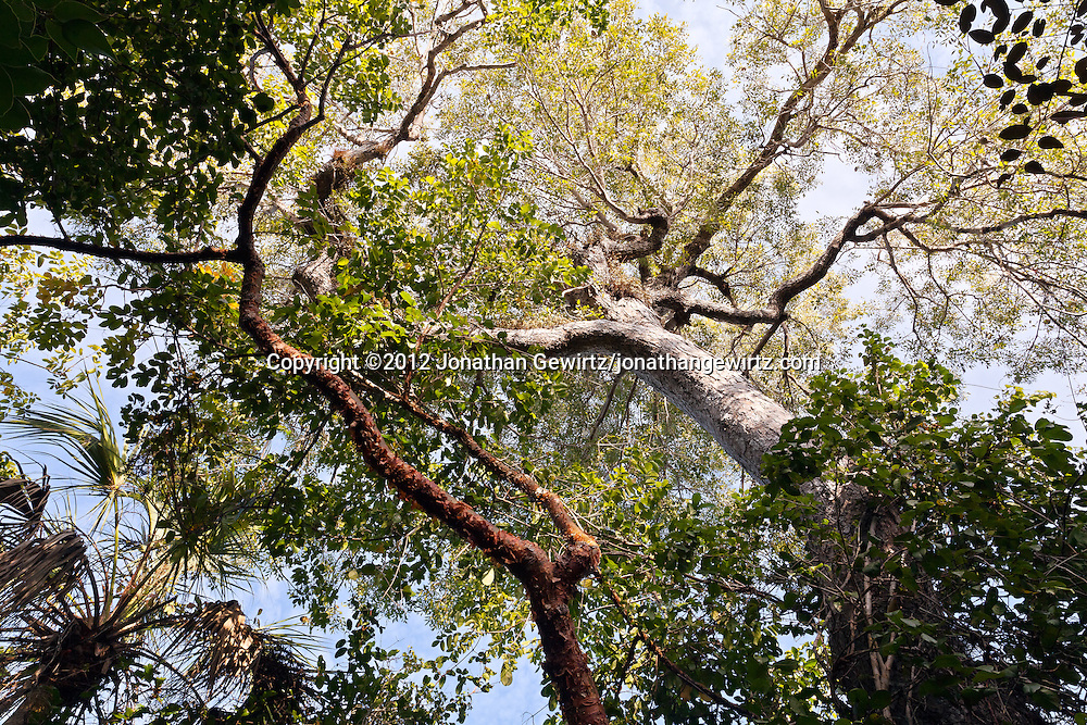 Hardwood forest canopy in Mahogany Hammock, Everglades National Park, Florida. WATERMARKS WILL NOT APPEAR ON PRINTS OR LICENSED IMAGES.
