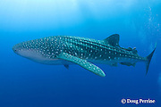 whale shark, Rhincodon typus, Gladden Spit & Silk Cayes Marine Reserve, off Placencia, Belize, Central America ( Caribbean Sea )
