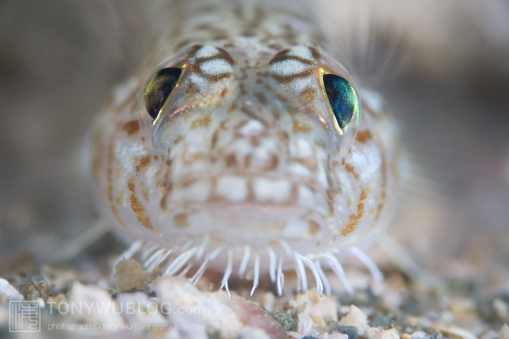 Face of a hairchin goby (Sagamia geneionema). Photographed at the Izu Peninsula in Japan.