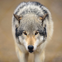 030115  Adron Gardner/Independent<br /> <br /> Ambassador Zoerro peers out from the Wild Spirit Wolf Sanctuary in Candy Kitchen Saturday.