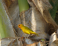 Saffron Finch in a Palm Tree.  Kona, Hawaii. Image taken with a Nikon D2xs and 80-400 mm VR lens (ISO 400, 400 mm, f/8, 1/640 sec).