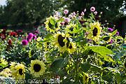 Helianthus annuus 'Valentine' - Sunflower, in the cutting garden with Dahlias - September