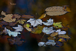 Stock photo of fallen leaves floating in a pond