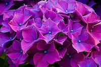 purple and blue Nikko Blue Hydrangea (Hydrangea macrophylla) macro