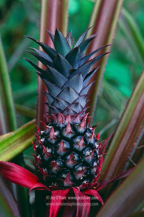 Pineapple, Banda, Maluku, Indonesia.