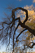 Vertical of fall cottonwood tree