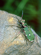 Green Tiger Beetle - Cicindela campestris