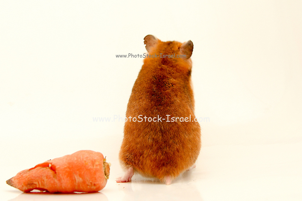 Cutout of a curious hamster with back to camera and a carrot on white background