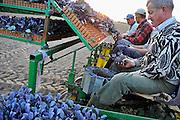 Nederland, Ottersum, 6-5-2011Poolse arbeiders zitten achterop een traktor en poten plantjes van de rode kool. De kleine kiemplantjes worden via een ingenieus mechaniek in de grond gestopt. De werkers stoppen de plantjes handmatig in het mechaniek.Foto: Flip Franssen/Hollandse Hoogte