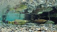 Chum Salmon with Coho Salmon<br /> <br /> Paul Vecsei/Engbretson Underwater Photography