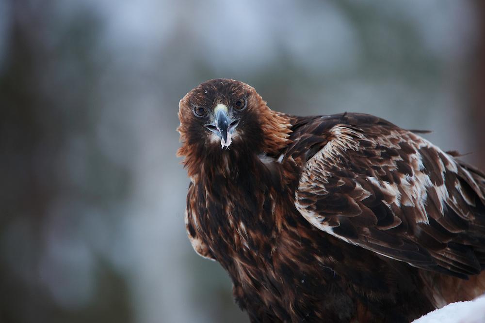 OULANKA NATIONAL PARK; KUUSAMO; KITKAJOKI; FINLAND 2009; EUROPE; WINTER; WILD GOLDEN EAGLE; Aquila chrysaetos; BIRD PHOTOGRAPHY; PHOTO HIDE