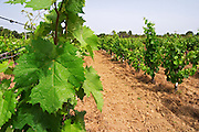 Domaine Clos Marie. Pic St Loup. Languedoc. Vine leaves. France. Europe. Vineyard.