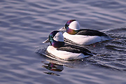 Two male Buffleheads coast along Juanita Bay. They had been feeding earlier in the morning and now are moving into the shallows to rest for late morning.