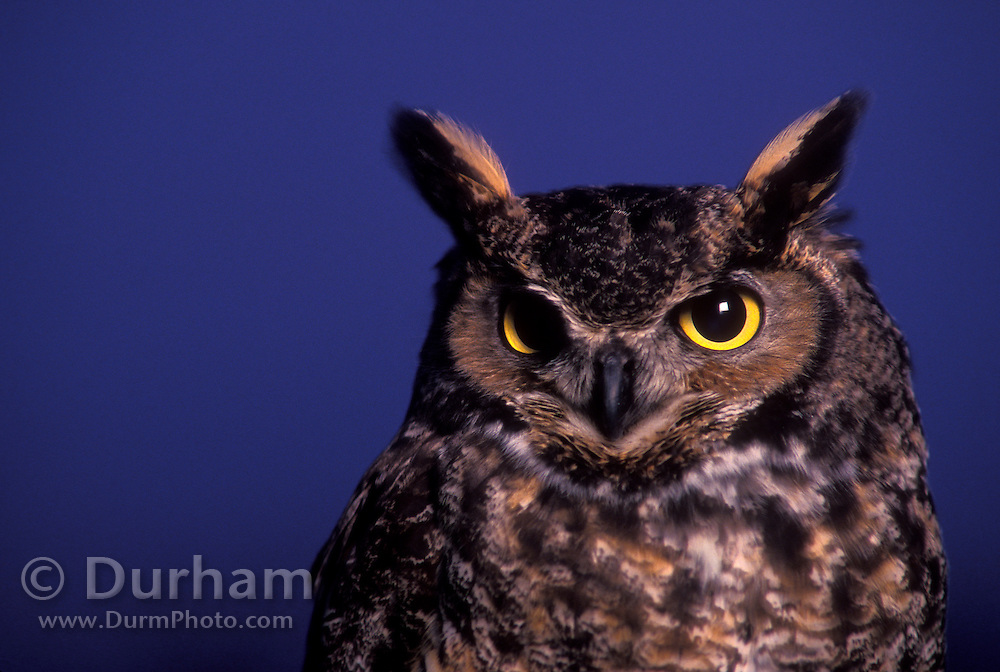 A great horned owl (Bubo virginianus) at dusk. Forest Park, Portland, Oregon.