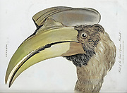 Buceros Closeup of the head and bill of  the Great African Hornbill Copperplate engraving From the Encyclopaedia Londinensis or, Universal dictionary of arts, sciences, and literature; Volume III;  Edited by Wilkes, John. Published in London in 1810